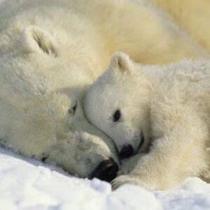 Papel Parede Polar Bears 1-605