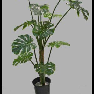 Planta Costela-de-Adão